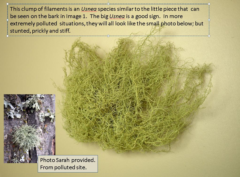 Forest Health – Likin' Lichens – Urban Forestry in