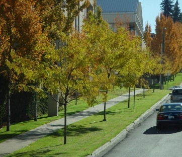 young street trees
