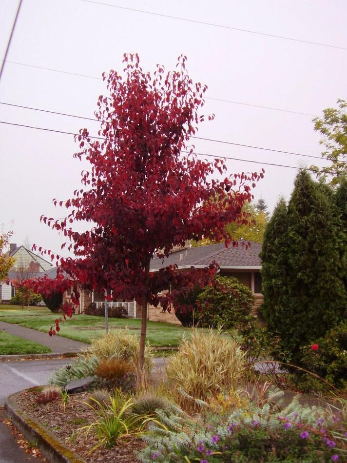 edgewood pear - fall