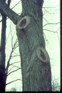 A good pruning wound looks like a donut, as it seals.