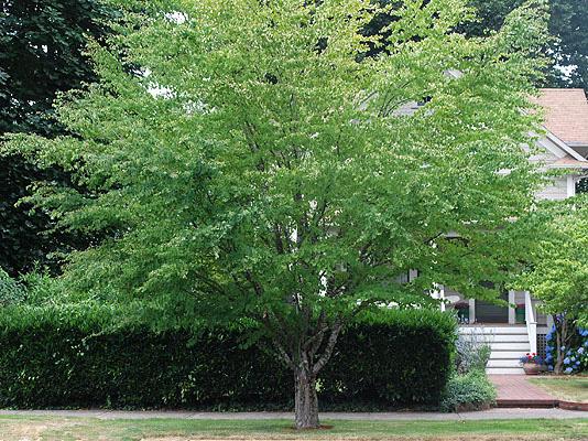 cejaOSU Plant image
