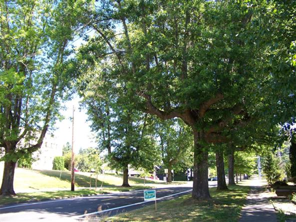 Legion Way Oak trees in Olympia. Photo: Nikkole Hughes