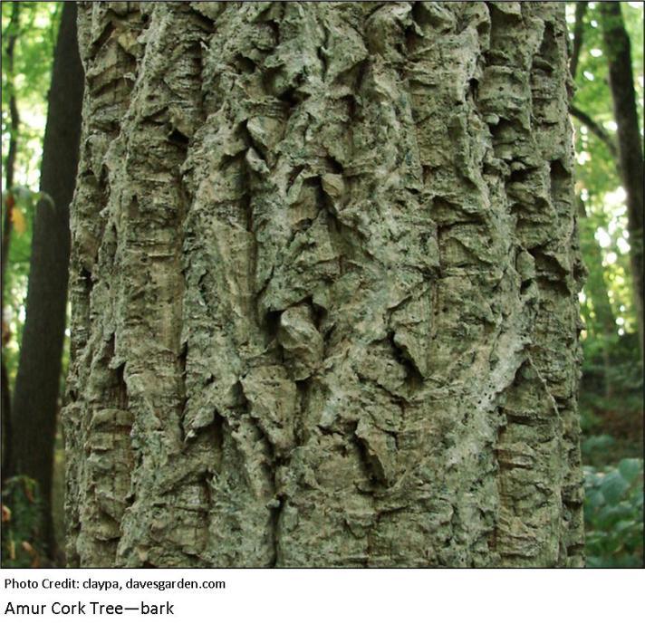 Amur Cork Tree bark