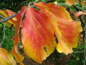 Fall leaf color. photo: Lynk media, Wikimedia Commons