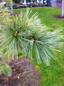 Limber branch tips