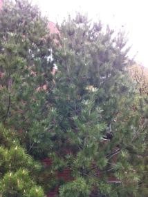 Limber Pine foundation planting 2