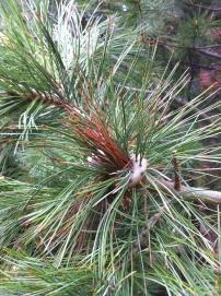 Limber Pine knot2