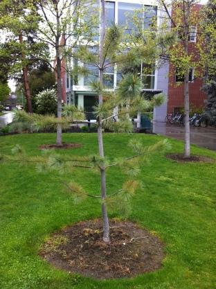 young Limber Pine