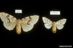 asian and european female gypsy moths
