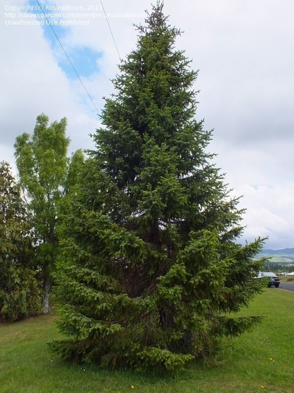 A Tree To Try Serbian Spruce A Tree So Nice They Named