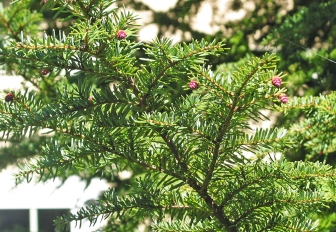 Mountain hemlock foliage and cones