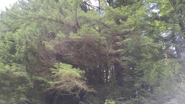 Hemlock damage