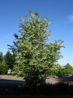 Snowcone Snowbell flwg tree 08