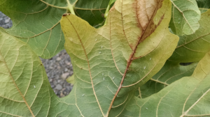 bigleaf leafhoppers