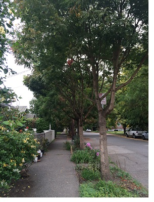 Chinese pistache as street trees
